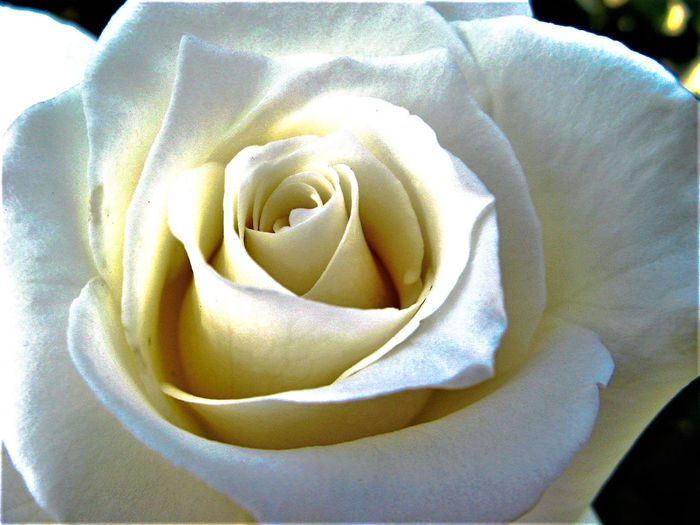 Beauty In Nature Close-up Day Flower Flower Head Fragility Freshness Full Frame Growth Nature No People Outdoors Petal Rose - Flower Rosé White White Color White Flower