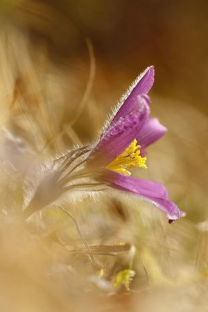 Pulsatilla vulgaris Beauty In Nature Blooming Close-up Day Flower Flower Head Fragility Freshness Growth Nature No People Outdoors Petal Plant Selective Focus