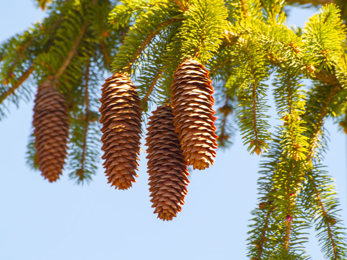 Low Angle View Of Pine Cones Hanging Against Sky