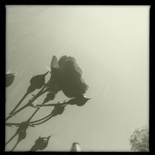 Roses striving toward the light Hipstamatic Blackandwhite Black And White Minimalism