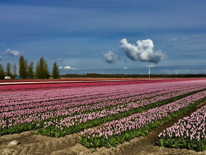 Tulips from Holland First Eyeem Photo