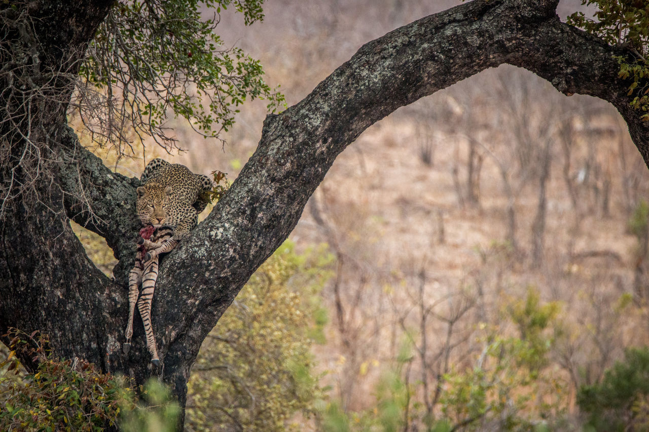 Leopard With Dead Animal Sitting On Tree Trunk