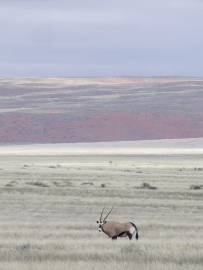 Oryx antelope in the empty vastness of namibian landscape