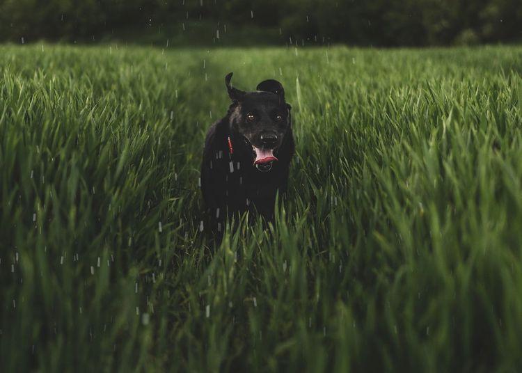 Black dog running in a field
