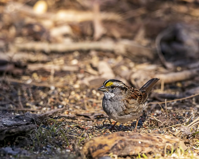 A beautiful white-throated sparrow perched on the forest floor. Bird Animal Animal Themes Animal Wildlife One Animal Animals In The Wild Field Nature Perching Outdoors Sunlight Dirt White-throated Sparrow Zonotrichia Albicollis Passerine Ornithology  Avian Beauty In Nature Animals In The Wild Small Bird Wildlife Wall Decoration Office Decor Home Decor Forest Copse WoodLand