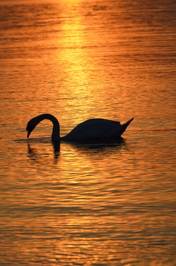 A Swan In The Baltic Sea At Sunset Silhouette Sunset Swan BirdBeauty In Nature Outdoors Beauty In Nature Sea Water White Bird Animal Themes Animal Golden Light Golden Moment Sun Golden Sunset Golden Hour No People Animal Wildlife Gold Black