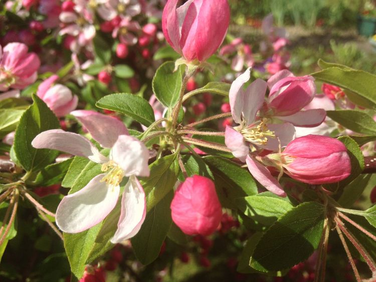 Apple blossom Growing Our Own