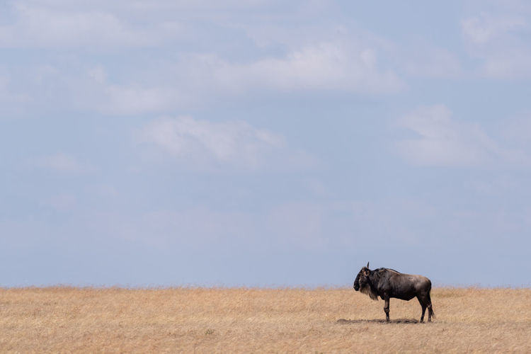 Wildebeest standing on field against sky during sunny day