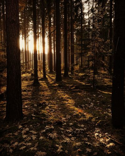 Forest Nature Sunset WoodLand