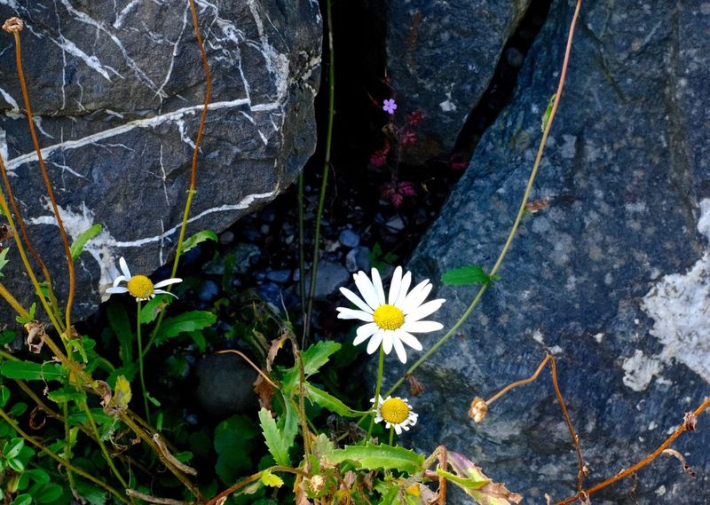 Flower Flowering Plant Plant Freshness Beauty In Nature Fragility Vulnerability  Flower Flowering Plant Plant Freshness Beauty In Nature Fragility Vulnerability  Growth Petal Flower Head High Angle View Close-up Outdoors Rock Directly Above Plant Part