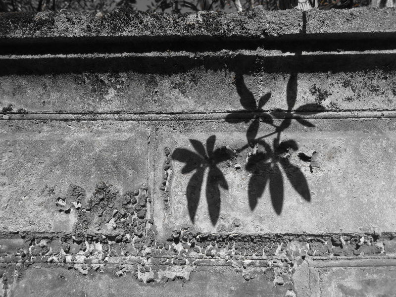 Leaves shadow Black And White Wall Branches And Leaves Concrete Crumbling Crumbling Wall Leaves Leaves Shadow Lichen Lichen On A Wall No People Shadows Silhouette Sunlight Wall Wall Art EyeEmNewHere Welcome To Black Art Is Everywhere EyeEm Selects Bnw_friday_eyeemchallenge Bnw_shadows The Graphic City