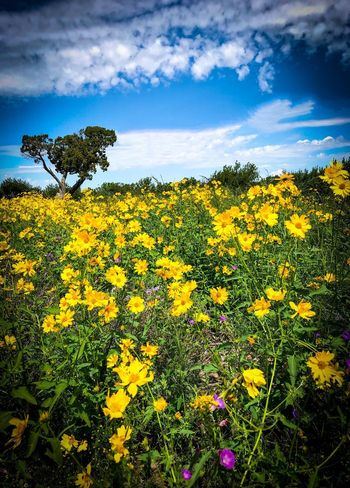 """""""Field Of Dreams"""" Your vibrant reality colors lead me to the dream ahead, the interlude, the caesura, then onward to the possibilities beyond in your sky blue fantasy. Blue Sky Wildflower New Mexico Photography New Mexico New Mexico Skies Metaphorical Photography Poetry In Pictures Poetry & Photography Language Poetry Field Of Dreams Dream Flower Yellow Growth Sky Cloud - Sky Beauty In Nature Field Freshness Vulnerability  Sunflower Landscape"""