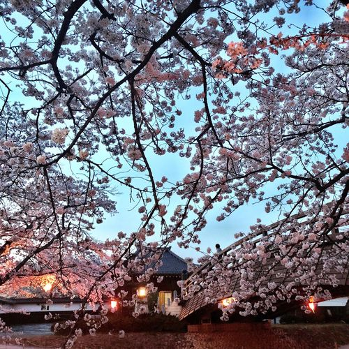 Japan Cherryblossom Beauty In Nature