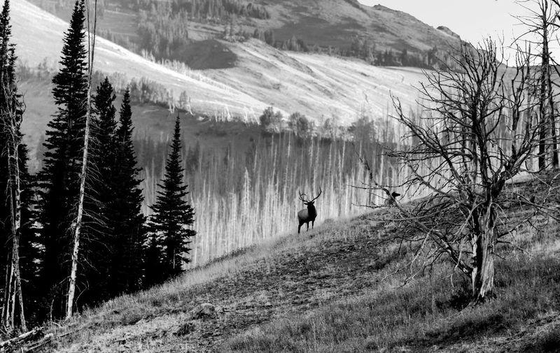 Elk on Mountain