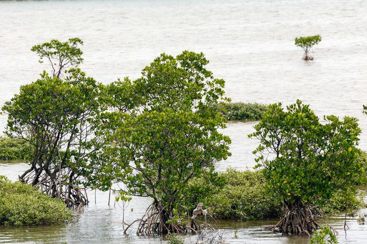 Mangrove at