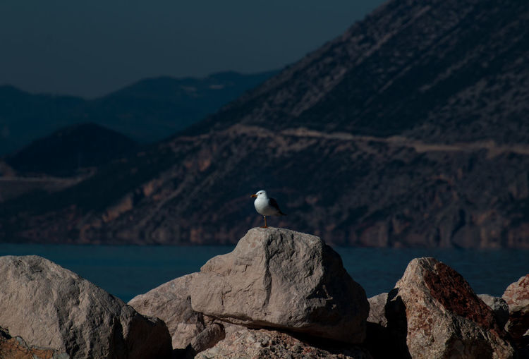 seagull sitting