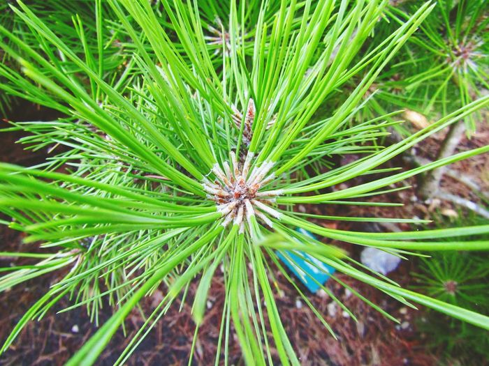 Outside Outside Photography Zero People No People Flower Flower Head Close-up Plant Green Color Needle Blister Pack Plant Life Stem Young Plant