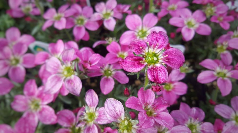Deeply Pink Flowers Pink Color Pink Bright Pink Pink Flower Pink Flowers Pink Flower 🌸 Magenta Flower Neon Pink Spring Springtime Spring Flowers Clean Fresh Gardening Freshness February March Flower Head Flower Pink Color Close-up Plant Botanical Garden Flowering Plant In Bloom Petal Blooming Plant Life Plant Part Blossom