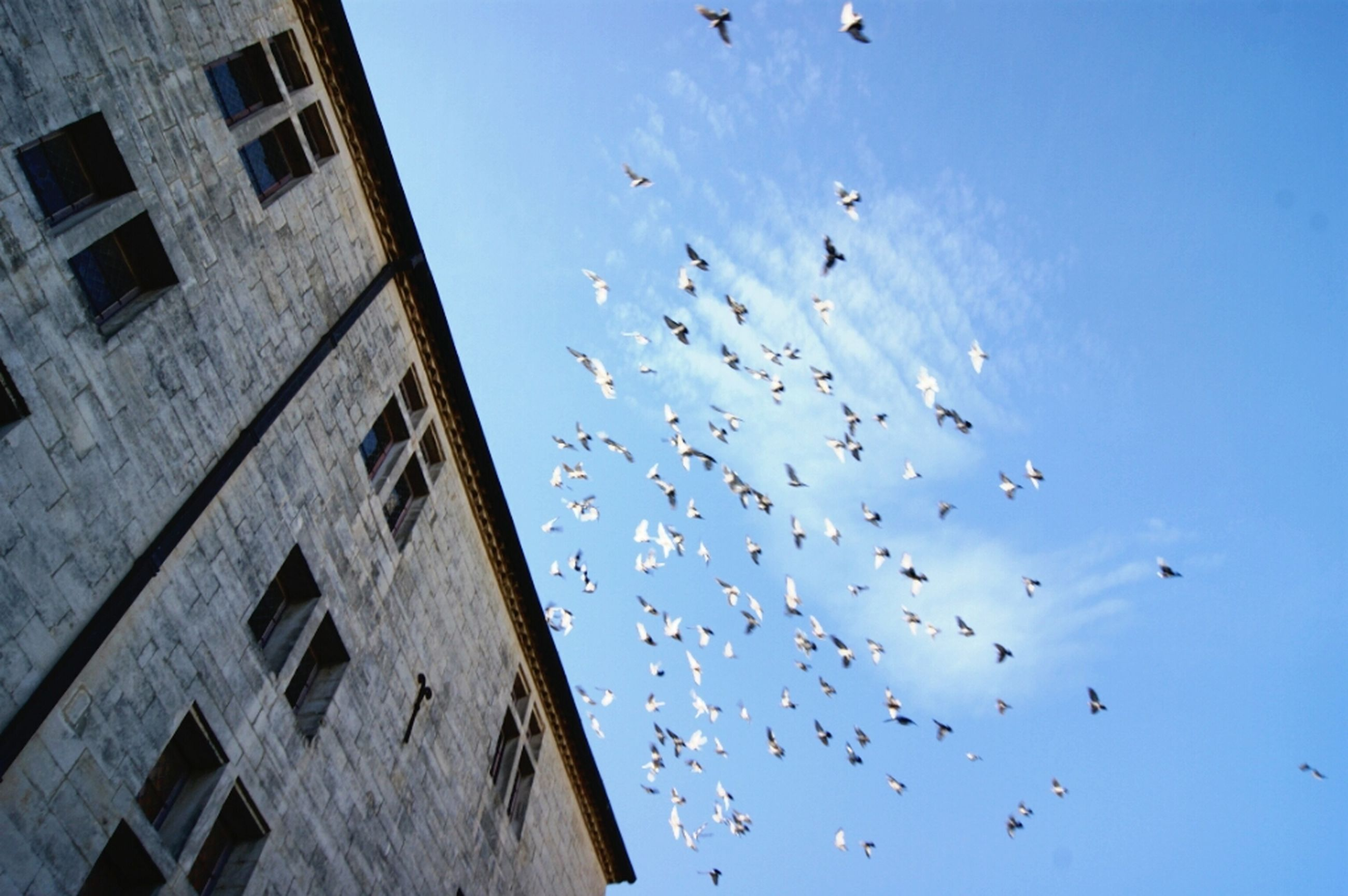 bird, low angle view, flying, flock of birds, animals in the wild, animal themes, wildlife, sky, built structure, architecture, mid-air, building exterior, blue, spread wings, day, outdoors, no people, medium group of animals, clear sky