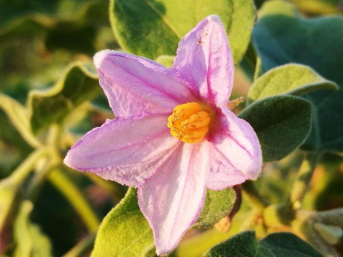 ดอกมะเขือ eggplant flower Flower Pink Color Beauty In Nature Nature Flower Head Plant Close-up Growth No People Outdoors Eggplants ดอกไม้ ดอกมะเขือ 🌼🌿😊