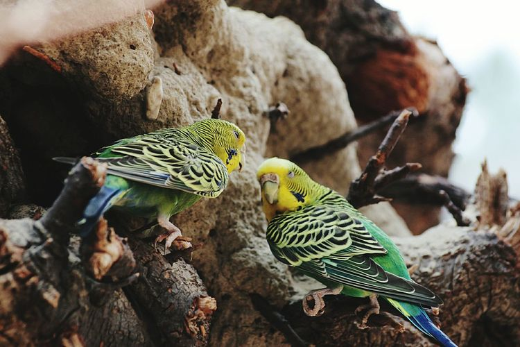 Low angle view of budgerigars perching on branch