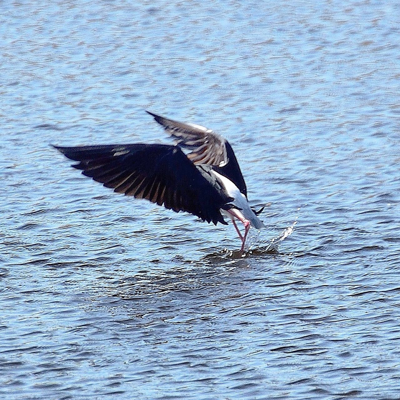 bird, spread wings, animals in the wild, one animal, animal themes, animal wildlife, flying, nature, water, mid-air, lake, no people, waterfront, day, outdoors, beauty in nature
