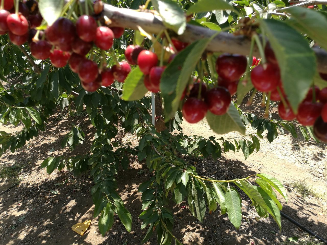 fruit, growth, food and drink, tree, red, leaf, nature, day, growing, green color, food, outdoors, no people, freshness, close-up, healthy eating, sunlight, plant, beauty in nature, branch