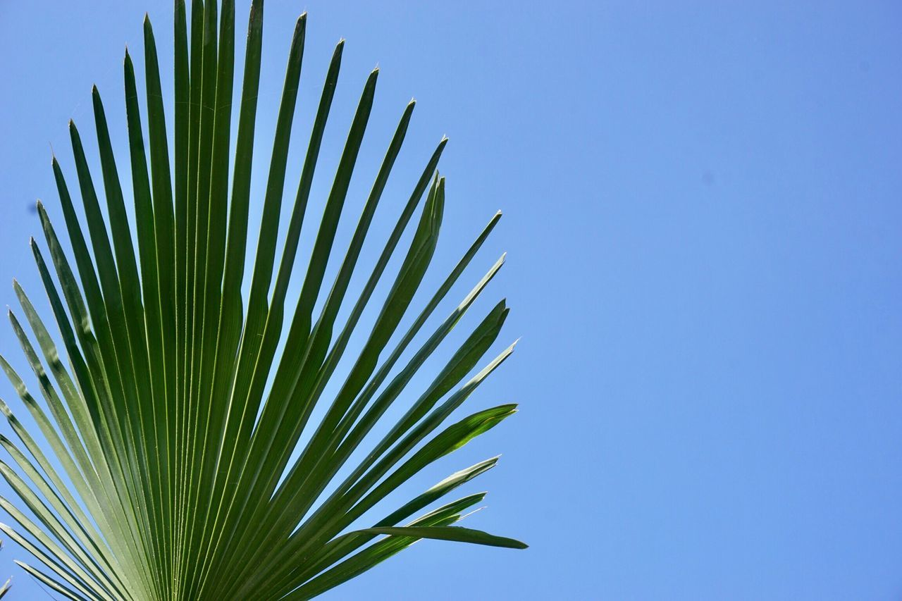 Close-Up Of Palm Tree Against Clear Blue Sky