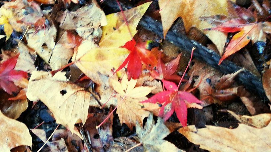 秋深し、紅儚し。#autumn #秋天 Autumn 秋天來過 秋天 EyeEm Selects Leaf Multi Colored Full Frame Backgrounds No People Outdoors Nature