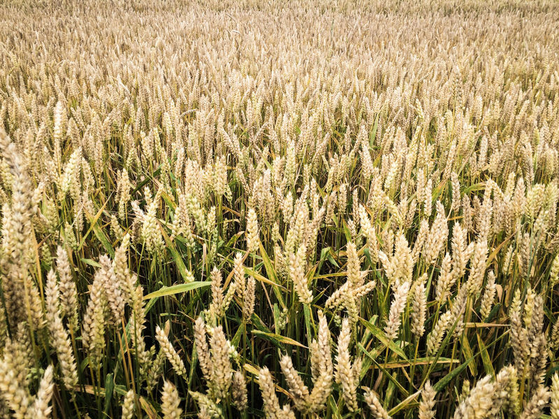 Abundance Agriculture Backgrounds Beauty In Nature Crop  Cultivated Land Day Field Full Frame Growing Growth Idyllic Landscape Nature No People Non-urban Scene Outdoors Plant Rural Scene Scenics Tranquil Scene Tranquility Wheat