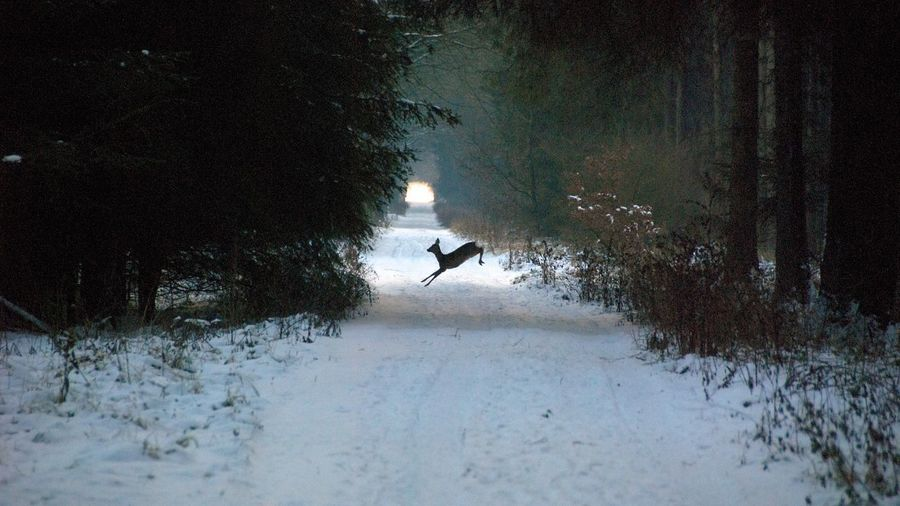 Deer jumping in the woods Forest Path Forest Woods Jump Deer Water Reflection Cold Temperature Winter Snow Outdoors