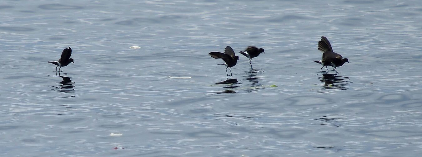 walking on water, wedge rumpled storm petrels, Galapagos Bird Animal Themes Animals In The Wild Water Wildlife Water Surface Floating On Water Water Bird Sea Spread Wings Birds_collection Birds Of EyeEm