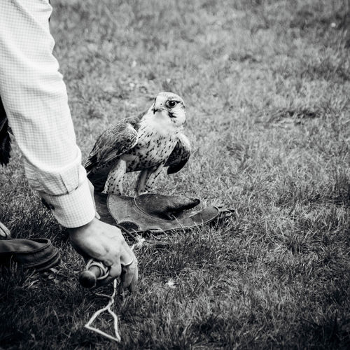 Cropped image of falconry with falcon on grassy field