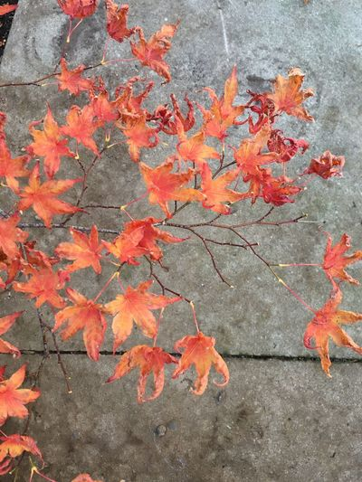 IPS2015Fall IPhoneography Japaneese-maple