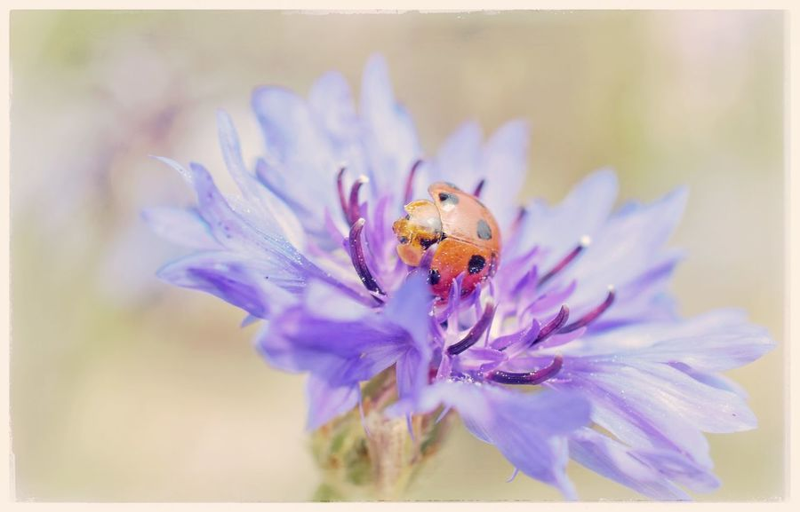 Animal Themes Bachelors Button Beauty In Nature Bee Blue Bokeh Bug Close-up Day Flower Flower Head Fragility Freshness Growth Insect Lady Bird Nature No People One Animal Outdoors Petal Plant Pollination Purple Wildlife