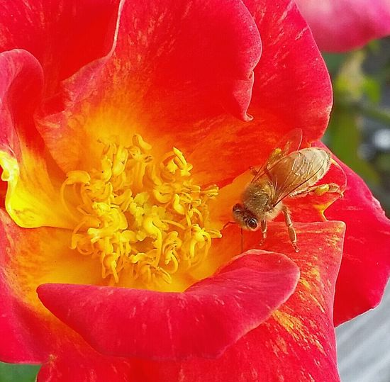 Bee And Flower Macro Photography Learning From Nature Macro_bugs The Pollenator Californiathroughmylens Love My Bees Macrophotography Save The Bees Smallthingsthatmakemehappy Beesofeyeem Busy Bee Myflower Flowers, Nature And Beauty April2015 Macro Nature At Its Best Spring2016 Things I Like