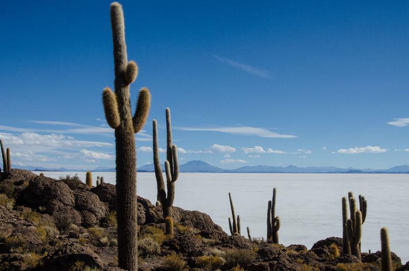 Blue Bolivia Cactus Calm Cloud Remote Rock - Object Salt Uyuni Uyuni Salt Flat The Great Outdoors - 2016 EyeEm Awards The Essence Of Summer Feel The Journey Fine Art Photography