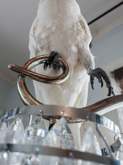 Clara the cockatoo Cockatoo Animal Themes Bird Brass Close-up Day Exotic Pets Indoors  Lamp Letter E Low Angle View No People One Animal Parrot Perching White Color