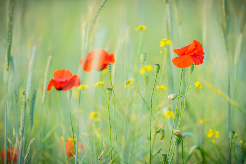 Mohn am Feldrand Nature Beauty In Nature Close-up Field Flower Flower Head Flowering Plant Fragility Freshness Green Color Growth Inflorescence Land Nature No People Nobody Outdoors Plant Plant Stem Poppy Red Selective Focus Vulnerability