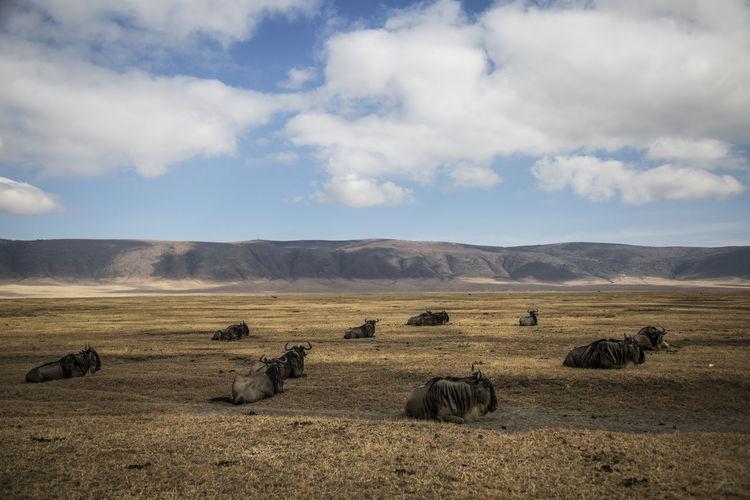 Wildebeests on field against sky