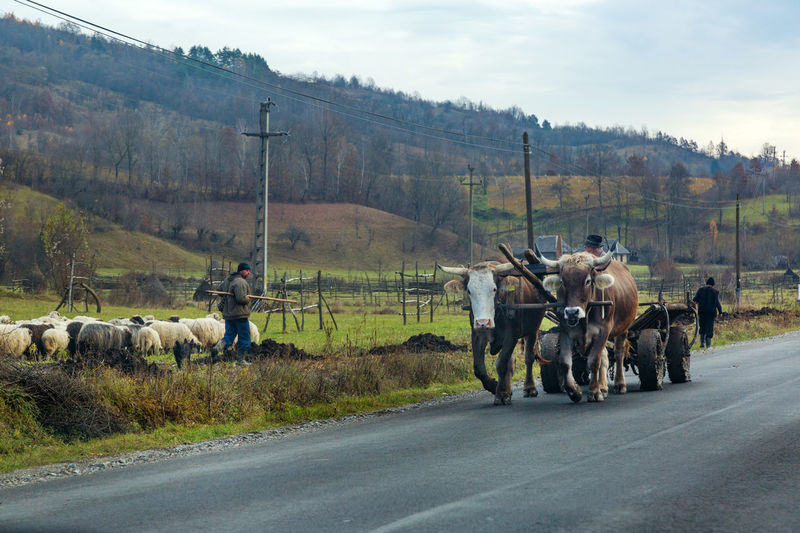 Maramures Romania Animal Themes Beauty In Nature Cow Day Domestic Animals Landscape Large Group Of Animals Livestock Mammal Nature Outdoors Oxen Oxen On The Road Real People Road Sky Transportation Tree