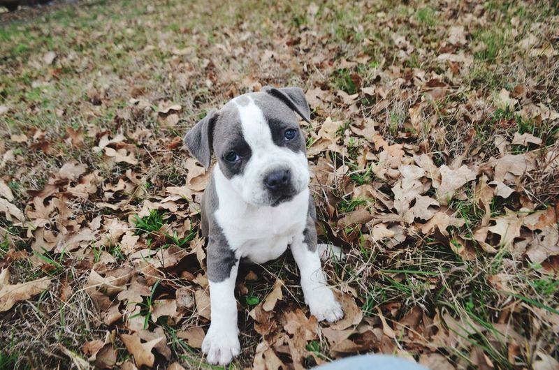 Our puppy Jaycee setting in the leafs Setting Leags One Animal Dog Canine Animal Themes Pets Mammal Domestic Animals Animal High Angle View Looking At Camera Day Young Animal Land Nature