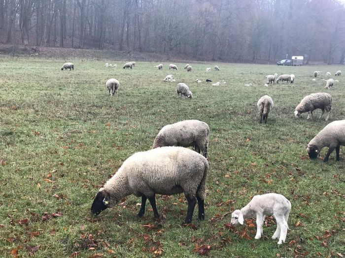 Sheep herde with lambs in winter Lammer Nobody Schafe Herde Sheep Lamb Farm Animal Livestock Sheep Domestic Animals Animal Themes Group Of Animals Livestock Mammal Animal Grass Domestic Field Flock Of Sheep Grazing Large Group Of Animals Nature