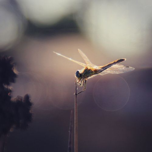 Close-up of dragonfly on plant during sunset