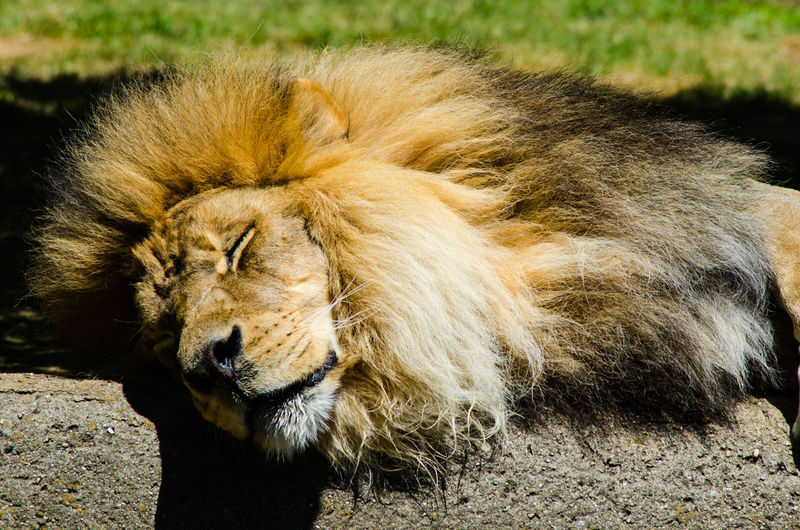 Sleepy lion Animal Themes Mammal Animal Cat Feline Animal Wildlife Animals In The Wild Lion - Feline One Animal Relaxation Vertebrate No People Resting Animal Head  Carnivora Day Male Animal Close-up Big Cat Outdoors Undomesticated Cat
