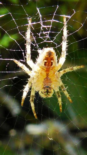 Spider Web Spider Insect One Animal Animal Themes Animals In The Wild Animal Wildlife Close-up Nature Fragility Beauty In Nature Trapped Full Length No People Loire-atlantique Bretagne France🇫🇷 Yellow Color