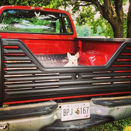 Charlie helped my dad install my new tailgate! Chihuahua Truck Ford F250