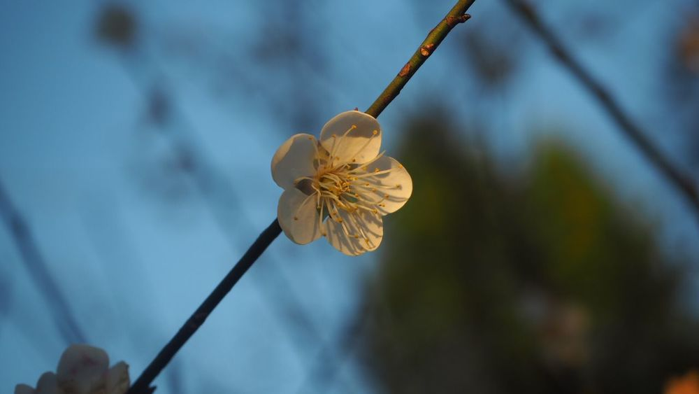 Plum blossoms in Taoyuan