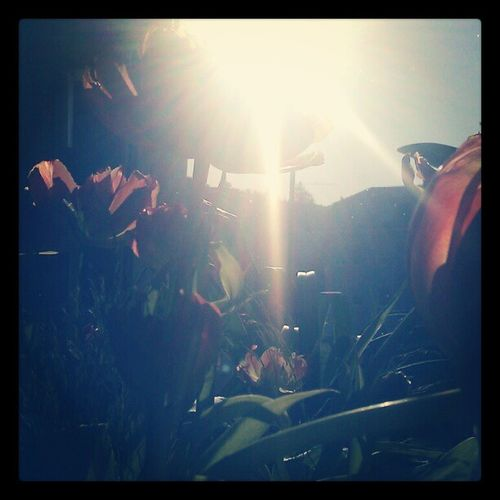 Good morning #sun #flowers #tulip #EAveIG Instamood Bestoftheday Igers Instagood Statigram Webstagram Instamillion Igersgermany Flowers Igersstuttgart Sun Eavig Awesome Igerskarlsruhe Tulip Iggc_silhouette Android Eaveig Photooftheday Walden Instagram Picoftheday