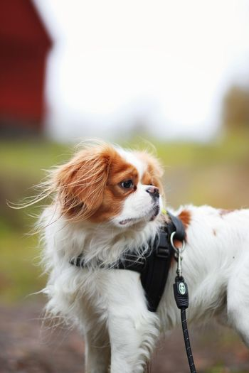 Dog Pets Domestic Animals One Animal Animal Themes Mammal Focus On Foreground Cavalier King Charles Spaniel No People Day Outdoors Close-up
